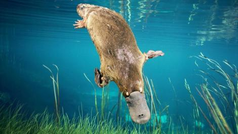 platypus-diving-adapt-945-1