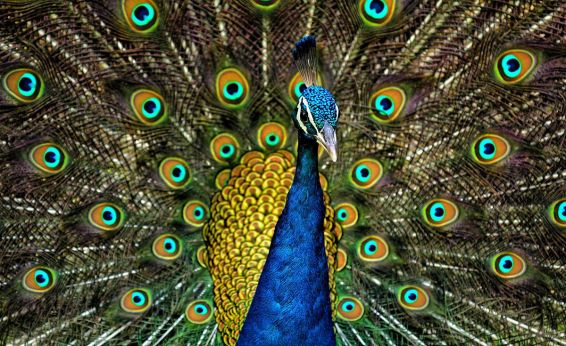 1200px-peacock_plumage