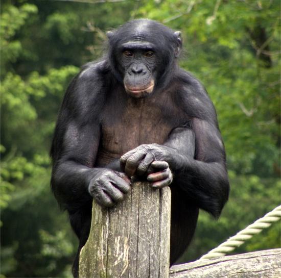 apeldoorn_apenheul_zoo_bonobo